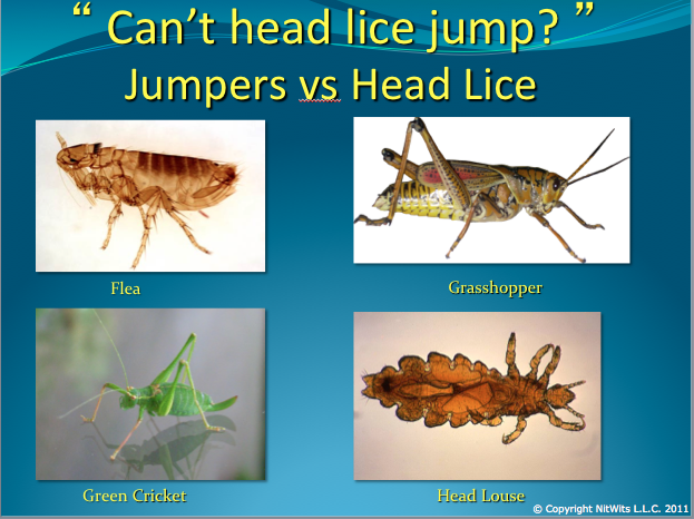 life cycle of head lice  nitwits best of boston