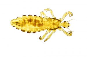 The Harm of Popular Lice Treatments